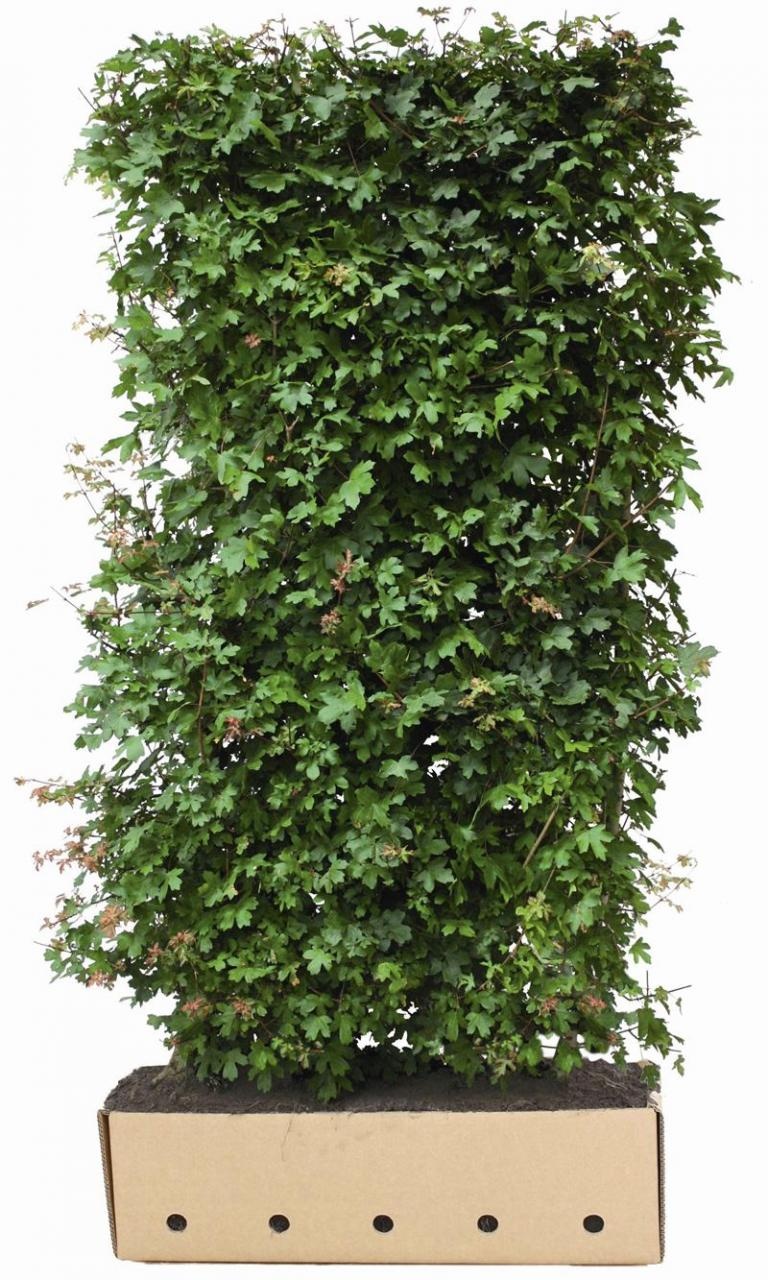 Acer campestre Quickhedge Element